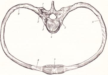 Соединение ребер с грудиной и позвоночником